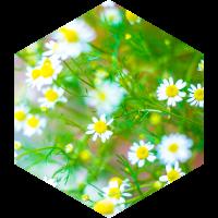 カミツレ花エキスのイメージ画像
