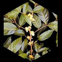 ムイラプアマのイメージ画像