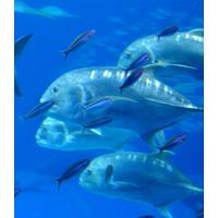 コラーゲンが豊富な魚